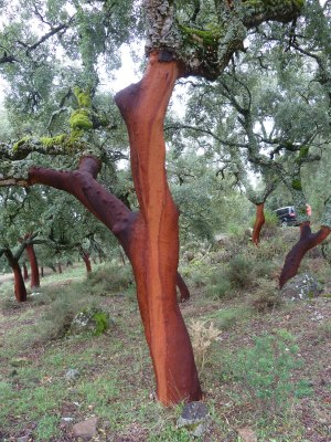Cork oak trees harvested of their bark this summer.